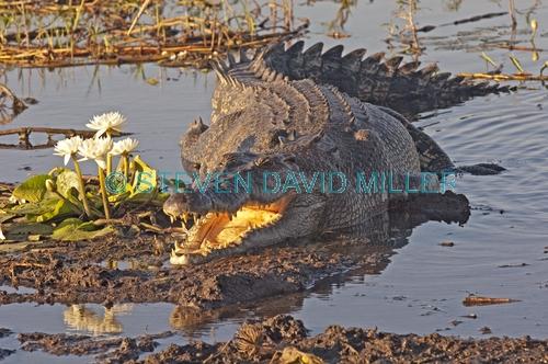 estuarine crocodile;saltwater crocodile;australian crocodile;crocodylus porosus;estuarine crocodile sunning;estuaring crocodile with mouth open;kakadu crocodile;kakadu national park;yellow waters wetland;yellow waters;man-eating crocodile;dangerous crocodile;south alligator river
