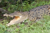 estuarine-crocodile-picture;estuarine-crocodile;saltwater-crocodile;crocodile;crocodylus-porosus;man-eating-crocodile;dangerous-crocodile;australian-crocodile;crocodile-lying-in-sun;crocodile-with-mouth-open;crocodile-out-of-water;crocodile-head;crocodile-teeth;crocodile-mouth;eye-contact;corroboree-billabong;mary-river;mary-river-wetland;northern-territory;australia;steven-david-miller