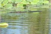 estuarine-crocodile-picture;estuarine-crocodile;saltwater-crocodile;crocodile;crocodylus-porosus;man