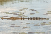 estuarine-crocodile-picture;estuarine-crocodile;saltwater-crocodile;crocodile;crocodylus-porosus;man-eating-crocodile;dangerous-crocodile;australian-crocodile;crocodile-mouth;swimming;crocodile-in-water;corroboree-billabong;mary-river;mary-river-wetland;northern-territory;australia;steven-david-miller