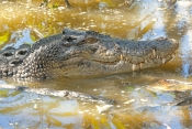 crocodile;estuarine-crocodile;saltwater-crocodile;crocodylus-porosus;man-eating-crocodile;dangerous-crocodile;crocodile-resting-in-water;hartleys-creek-zoo;cairns;steven-david-miller