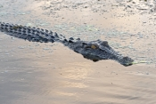 esturine-crocodile-picture;estuarine-crocodile;saltwater-crocodile;crocodile;crocodylus-porosus;man-eating-crocodile;dangerous-crocodile;australian-crocodile;crocodile-swimming;crocodile-in-water;yellow-waters;east-alligator-river;kakadu-national-park;australian-national-parks;northern-territory;australia;steven-david-miller