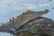 esturine-crocodile-picture;estuarine-crocodile;saltwater-crocodile;crocodile;crocodylus-porosus;man-eating-crocodile;dangerous-crocodile;australian-crocodile;crocodile-sunning-itself;crocodile-head;crocodile-out-of-water;yellow-waters;east-alligator-river;kakadu-national-park;northern-territory;australia;steven-david-miller