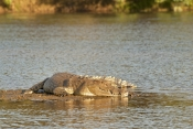 estuarine-crocodile-picture;saltwater-crocodile-picture;estuarine-crocodile;saltwater-crocodile;crocodylus-porosus;man-eating-crocodile;dangerous-crocodile;crocodile-lying-in-sun;crocodile-sleeping;ord-river;lower-ord-river;kununurra;the-kimberley;kimberley;kimberley-river;steven-david-miller