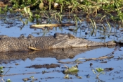 esturine-crocodile-picture;estuarine-crocodile;saltwater-crocodile;crocodile;crocodylus-porosus;man-eating-crocodile;dangerous-crocodile;australian-crocodile;crocodile-lswimming;yellow-waters;south-alligator-river;kakadu-national-park;northern-territory;australia;steven-david-miller
