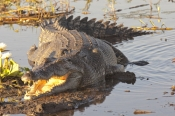 estuarine-crocodile;saltwater-crocodile;australian-crocodile;crocodylus-porosus;estuarine-crocodile-sunning;estuaring-crocodile-with-mouth-open;kakadu-crocodile;kakadu-national-park;yellow-waters-wetland;yellow-waters;man-eating-crocodile;dangerous-crocodile;south-alligator-river