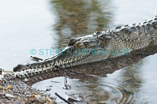 freshwater crocodile picture;freshwater crocodile;johnston's crocodile;crocodylus johnstoni;australian crocodile;crocodile close up;crocodile eye;crocodile jaw;crocodile teeth;crocodile floating on water;australian crocodile;australian reptile;kununurra;lake kununurra;steven david miller