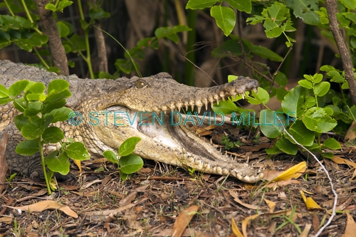 freshwater crocodile picture;freshwater crocodile;johnston's crocodile;johnstons crocodile;crocodylus johnstoni;crocodile;australian crocodile;crocodile lying in sun;crocodile out of water;crocodile head;crocodile teeth;crocodile mouth;crocodile snout;crocodile with mouth open;australian crocodile;northern territory;australia;steven david miller