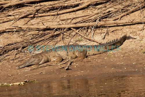 freshwater crocodile picture;freshwater crocodile;johnston's crocodile;johnstons crocodile;crocodylus johnstoni;crocodile;australian crocodile;young freshwater crocodile;crocodile out of water;crocodile near water;crocodile on river bank;australian crocodile;western australia;steven david miller