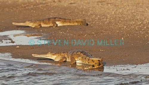 freshwater crocodile picture;freshwater crocodile;johnston's crocodile;crocodylus johnstoni;freshwater crocodile ion river bank;australian reptile;kununurra;ord river;lower ord river;kimberley river;the kimberley;steven david miller