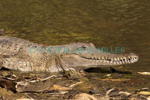 freshwater crocodile;johnstone's crocodile;johnstones crocodile;australian crocodile;crocodile;crocodylus johnstoni;windjana gorge national park;the kimberley;western australia;australian reptile