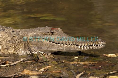 freshwater crocodile;johnstone's crocodile;australian crocodile;crocodile;crocodylus johnstoni;windjana gorge national park;the kimberley;western australia;steven david miller