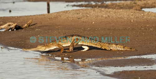 freshwater crocodile picture;freshwater crocodile;johnston's crocodile;crocodylus johnstoni;freshwater crocodile walking;australian reptile;kununurra;ord river;lower ord river;kimberley river;the kimberley;crocodile;australian crocodile