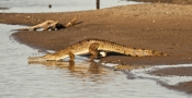 freshwater-crocodile-picture;freshwater-crocodile;johnstons-crocodile;crocodylus-johnstoni;freshwater-crocodile-walking;australian-reptile;kununurra;ord-river;lower-ord-river;kimberley-river;the-kimberley;crocodile;australian-crocodile