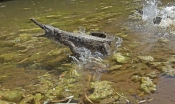 freshwater-crocodile;johnstones-crocodile;australian-crocodile;crocodile-agression;crocodylus-johnstoni;windjana-gorge-national-park;the-kimberley;western-australia;steven-david-miller