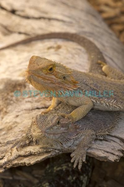 reptile;dragon lizard;poikilotherm;australian reptile