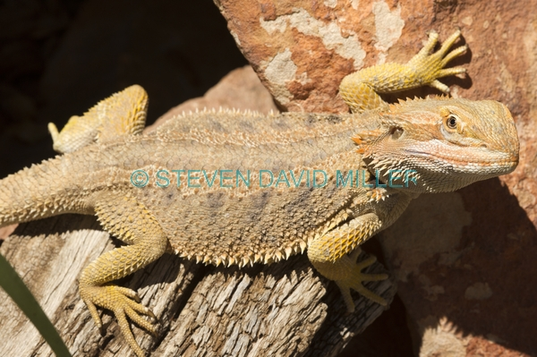 reptile;dragon lizard;poikilotherm;australian reptile;eye contact