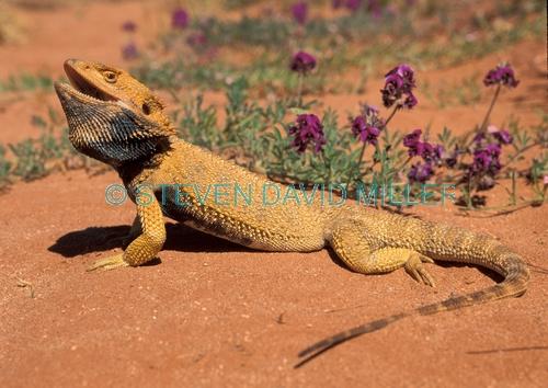 central bearded dragon;bearded dragon;bearded dragon lizard;dragon lizard;sandstone desert;central australia;central australia reptiles;pogona vitticeps;australian lizards;spiky dragon;spiky lizard
