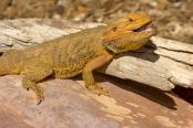 reptile;dragon-lizard;poikilotherm;australian-reptile