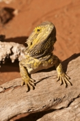 central-bearded-dragon-picture;bearded-dragon;pogona-vitteceps;dragon-lizard;dragon-lizard-portrait;dragon-lizard-beard;dragon-lizard-scales;reptile-scales;curious;spiny;reptile-skin;alice-springs;alice-springs-reptile-centre;alice-springs-reptile-center;australian-reptile;steven-david-miller