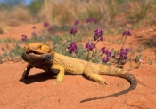 central-bearded-dragon;bearded-dragon;bearded-dragon-lizard;dragon-lizard;sandstone-desert;central-australia;central-australia-reptiles;pogona-vitticeps;australian-lizards;spiky-dragon;spiky-lizard