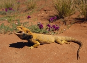 AGAMAS;AGGRESSION;AUSTRALIA;DESERTS;LIZARDS;POGONA-VITTICEPS;REPTILES;VERTEBRATES;central-bearded-dragon