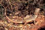 central-netted-ground-dragon-picture;central-netted-ground-dragon;central-netted-ground-dragon;ctenophorus-nuchalis;australian-reptiles;australian-lizards;australian-dragon-lizards;uluru;ayers-rock;the-olgas;uluru-kata-tjuta-national-park;northern-territory;central-australia;central-australian-reptiles;spotted-lizard;spotted-reptile;steven-david-miller