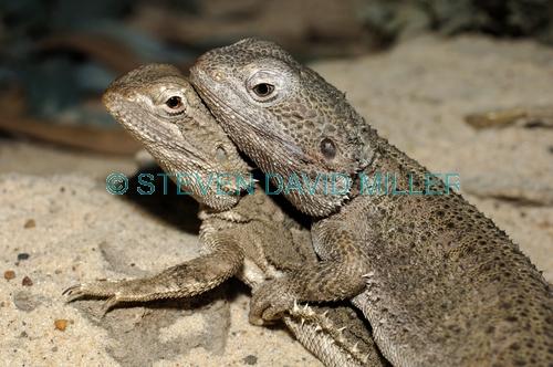 common bearded dragon;bearded dragon;dragon lizard;lizards mating;dragons mating;dragon lizards mating;australian reptile park;australian lizards;spiky dragon;spiky lizard