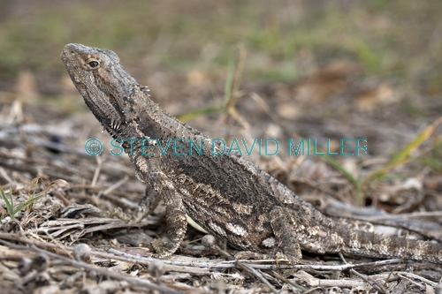 Red Phase X Bearded Dragons Hatchlings Juveniles