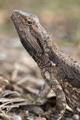 bearded-dragon;common-bearded-dragon;eastern-bearded-dragon;bearded-dragon-lizard;pogona-barbata;dragon-lizard;bearded-dragon;australian-lizards;australian-reptiles;spiky-dragon;spiky-lizard