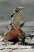 eastern-water-dragon;physignathus-lesueurii;water-dragon-on-rocks;sydney-chinese-gardens;eastern-water-dragon-picture;water-dragon;dragon-lizard;australian-lizards;australian-reptiles