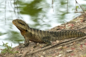 eastern-water-dragon;physignathus-lesueurii;water-dragon-beside-water;bundaberg-botanical-gardens-park;water-dragon;dragon-lizard