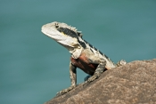 eastern-water-dragon;australian-water-dragon;dragon;dragon-lizard;australia-reptile;intellagama-lesueurii