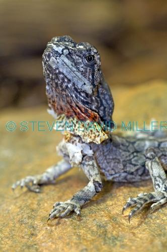 frilled lizard;frilled lizard baby;baby frilled lizard;chlamydosaurus kingii;frilled dragon lizard;frilled lizard portrait;frilled lizard picture;australian lizard;northern territory lizard;top end;iconic australian lizard;alice springs;alice springs reptile centre