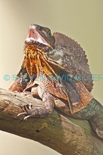 frilled lizard;frilled lizard display;chlamydosaurus kingii;frilled dragon lizard;frilled lizard portrait;frilled lizard picture;vertical frilled lizard picture;australian lizard;northern territory lizard;top end;iconic australian lizard;attentive;threatening;alice springs;alice springs reptile centre;alice springs reptile center;australian reptile;steven david miller
