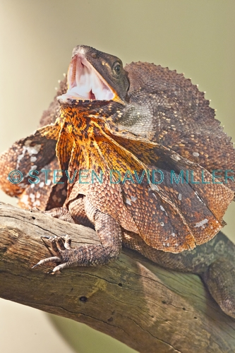 frilled lizard;frilled lizard display;chlamydosaurus kingii;frilled dragon lizard;frilled lizard portrait;frilled lizard picture;vertical frilled lizard picture;australian lizard;northern territory lizard;top end;iconic australian lizard;attentive;threatening;alice springs;alice springs reptile centre;alice springs reptile center;australian reptile;steven david miller