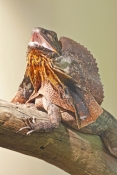 frilled-lizard;frilled-lizard-display;chlamydosaurus-kingii;frilled-dragon-lizard;frilled-lizard-portrait;frilled-lizard-picture;vertical-frilled-lizard-picture;australian-lizard;northern-territory-lizard;top-end;iconic-australian-lizard;attentive;threatening;alice-springs;alice-springs-reptile-centre;alice-springs-reptile-center;australian-reptile;steven-david-miller