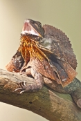 Frilled Lizard Defense Sequence