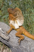 frilled-lizard;frilled-lizard-display;chlamydosaurus-kingii;frilled-dragon-lizard;frilled-lizard-portrait;frilled-lizard-picture;vertical-frilled-lizard-picture;australian-lizard;northern-territory-lizard;top-end;iconic-australian-lizard;cobourg-peninsula;garig-gunak-barlu-national-park;australian-national-park;northern-territory-national-park;arnhemland;arnhem-land