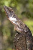 frilled-lizard;frilled-lizard-pictre;chlamydosaurus-kingii;frilled-dragon-lizard;frilled-lizard-portrait;frilled-lizard-picture;australian-lizard;northern-territory-lizard;top-end;iconic-australian-lizard;mary-river-national-park;camouflage;camoflage