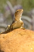 ring-tailed-dragon-lizard-picture;ring-tailed-dragon-lizard;ring-tailed-dragon;dragon-lizard;ctenophorus-caudicinctus;kings-canyon;watarrka-national-park;northern-territory;australian-lizards