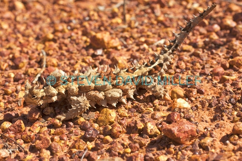 thorny devil picture;thorny devil;moluch horridus;thorny lizard;spiny lizard;lizard spines;spiny;thorny;thorns;camouflage;australian reptile;australian lizard;defensive armour;central australia;northern territory;steven david miller