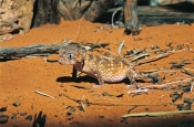 Rough Knob-tailed Gecko