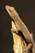 zigzag-velvet-gecko;velvet-gecko;gecko;australian-gecko;oedura-rhombifer;undara-volcanic-national-park;queensland;queensland-national-park;australian-national-park;australian-lizard;australian-reptile
