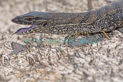 heath monitor;varanus rosenbergi;heath monitor picture;monitor;monitor lizard;goanna;australian reptile;australian goanna;australian monitor;australian monitor lizard;cape le grand national park;western australia national park
