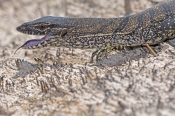 heath-monitor;varanus-rosenbergi;heath-monitor-picture;monitor;monitor-lizard;goanna;australian-reptile;australian-goanna;australian-monitor;australian-monitor-lizard;cape-le-grand-national-park;western-australia-national-park