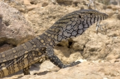 perentie-picture;perentie;varanus-giganteus;goanna;australian-goanna;australian-reptile;point-quobba;western-australia-reptile;large-reptile;monitor-lizard;australian-lizards