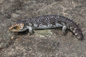 Shingleback Lizard