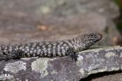 cunninghams-skink;cunninghams-skink;skink;australian-skinks;australian-lizards;australian-reptiles;australian-reptile-park;the-australian-reptile-park