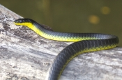 Colubrid Snakes